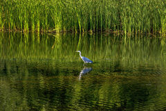 Portrait of a Grey Heron on the side of a lake Royalty Free Stock Photo
