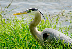 Portrait of A grey heron Royalty Free Stock Photo
