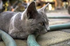 Portrait of grey highbred cat Stock Photos