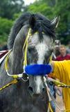 Portrait of grey horse Royalty Free Stock Photo