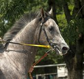 Portrait of grey horse Stock Photography