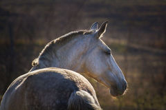 Portrait of grey horse Stock Image