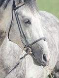 Portrait of grey horse closeup stock photos