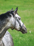 Portrait of grey horse with daizy Royalty Free Stock Photo