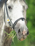 Portrait of grey horse with daizy closeup Royalty Free Stock Images