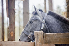 Portrait of grey horse Stock Photo
