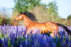Portrait of a grey horse among lupine flowers. Gorgeous arabian horse among blooming lupine flowers Stock Images
