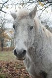 Grey horse in a meadow Royalty Free Stock Photography