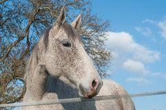 Grey horse in a meadow on blue sky background Royalty Free Stock Photo