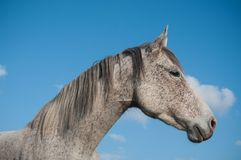 Grey horse in a meadow on blue sky background Stock Images