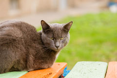 Portrait of grey indifferent cat looking at camera. Calm apathetic grey cat sitting on the bench and looking at camera, close up, copy space Royalty Free Stock Photography