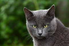 Portrait of grey kitten Royalty Free Stock Photography