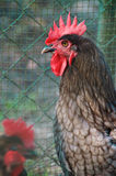 Portrait of grey maran rooster Stock Image