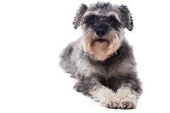 Portrait of Grey Miniature Schnauzer Terrier Dog Stock Photography