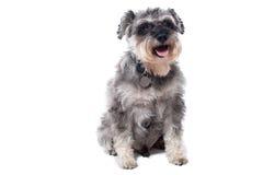 Portrait of Grey Miniature Schnauzer Terrier Dog Stock Images