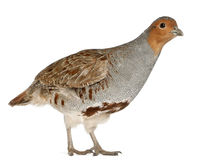 Portrait of Grey Partridge Stock Image