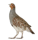 Portrait of Grey Partridge Stock Images