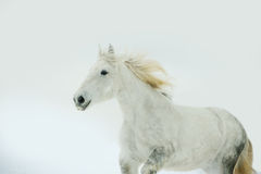 Portrait of grey persheron mare with long mane in winter Royalty Free Stock Photo