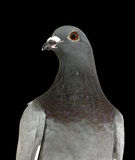 Portrait Of Grey Pigeon Stock Image