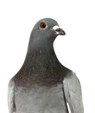 Portrait Of Grey Pigeon Isolated On White Background Royalty Free Stock Photo