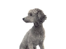 The portrait of the grey poodle dog. The dog is looking to the left Stock Photo