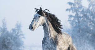 Portrait of grey purebred Spanish horse. On winter background Royalty Free Stock Images
