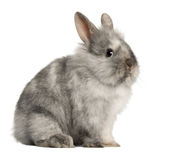 Portrait of a grey rabbit sitting Royalty Free Stock Photos