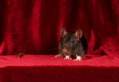 Portrait of grey rat on red velvet background Stock Photography