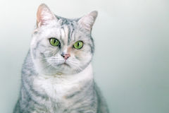 Portrait of a grey silver cat Stock Images