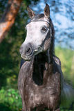 Portrait of grey sportive  horse Royalty Free Stock Image