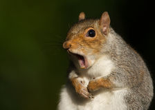 Portrait of Grey Squirrel yawning Stock Images