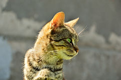 Portrait of a grey striped domestic cat with green eyes Royalty Free Stock Photo