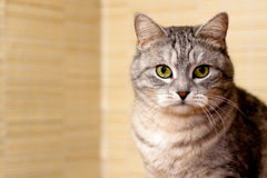 Crey tabby cat Stock Images