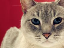 Portrait of a Grey Tabby Cat. A closeup portrait of a beautiful grey tabby cat Royalty Free Stock Photos