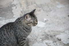 Portrait grey tabby cat. Stock Photos