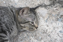 Portrait grey tabby cat. Royalty Free Stock Images