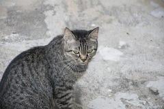 Portrait grey tabby cat. Stock Images