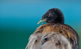 Portrait of a Grey-winged Trumpeter Royalty Free Stock Photography