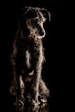 Portrait of a grey wire haired terrier dog Stock Image