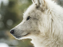 Portrait of a grey wolf Royalty Free Stock Photography