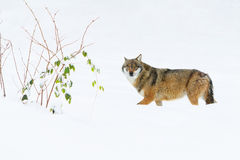 Portrait grey wolf in the snow Royalty Free Stock Photos