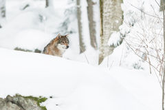 Portrait grey wolf in the snow Royalty Free Stock Image