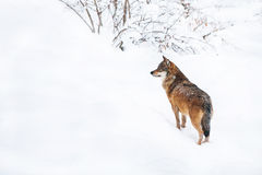 Portrait grey wolf in the snow. Portrait of an European grey wolf (Canis lupus lupus Stock Images