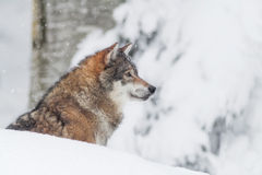 Portrait grey wolf in the snow. Portrait of an European grey wolf (Canis lupus lupus Royalty Free Stock Photo
