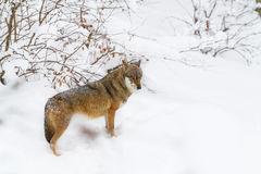 Portrait grey wolf in the snow Stock Image