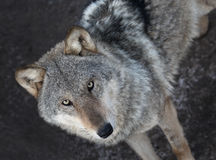Portrait of  grey wolf standing. Isolated on dark background Royalty Free Stock Photography