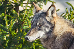 Portrait of Grey Wolf Royalty Free Stock Photography