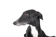 Portrait of a greyhound Royalty Free Stock Photography