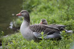 Portrait of Greylag Goose Royalty Free Stock Images