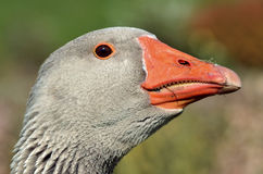 Portrait greylag goose Royalty Free Stock Photo